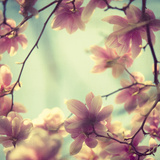 Magnolia Bloom II Giclée-Druck von Irene Suchocki