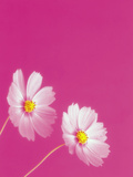 Two Pink Flowers Against Bright Pink Colored Background Photographic Print by Green Light Collection