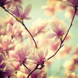 Magnolia Bloom I Giclée-Druck von Irene Suchocki
