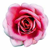 Pink Harmony II Giclee Print by James Guilliam