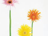 Three Yellow, Orange And Pink Flowers Against White Background Photographic Print by Green Light Collection