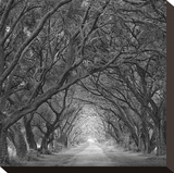 Evergreen Oak Alley (vertical view) (B/W) Stretched Canvas Print by William Guion