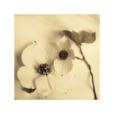 Sepia Dogwoods II Giclee Print by Heather Johnston