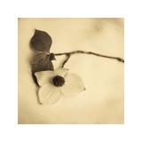Sepia Dogwoods I Giclee Print by Heather Johnston