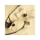Sepia Dogwoods III Giclee Print by Heather Johnston