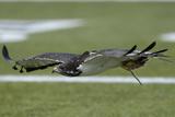 Seahawks Football: Taima the Hawk Fotografisk trykk av Elaine Thompson