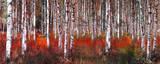 Birch Trees in Red Umění