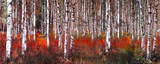 Birch Trees in Red Prints