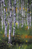 Birch Trees in Field Art