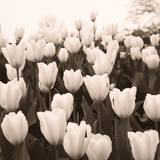Tulips I Prints