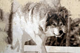 Loups Affiches