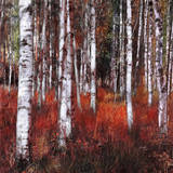Birch Trees in Fire Grass 1 Prints