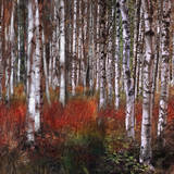 Birch Trees in Fire Grass 2 Posters