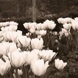 Tulips II Posters