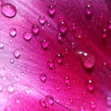 Morning Dew on Petal Art