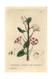 Corn Bindweed, Convolvulus Arvensis, From William Baxter's British Phaenogamous Botany, 1834 Giclee Print by Charles Mathews