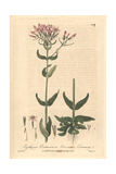Centaury, Erythraea Centaurium, From William Baxter's British Phaenogamous Botany, Oxford, 1840 Giclee Print by Isaac Russell