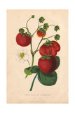 Ripe Fruit, White Flowers And Leaves of Keen's Seedling Strawberry, Fragaria Giclee Print