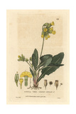 Common Cowslip, Primula Veris, From William Baxter's British Phaenogamous Botany, 1834 Giclee Print by William Delamotte
