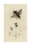 Gryllotalpa Vulgaris, Gryllotalpa Gryllotalpa, Mole-cricket, And Water Blinks, Montia Fontana Giclee Print by John Curtis