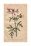 Rasp-leaved Geranium with Pink And Purple Flowers, Native of the Cape, Geranium Radula Giclee Print by James Sowerby