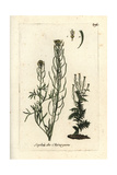 "Flixweed Or Fluxweed, Sisymbrium Sophia, From Pierre Bulliard's ""Flora Parisiensis,"" 1776, Paris Giclee Print by Pierre Bulliard"