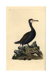Great Cormorant From Edward Donovan's Natural History of British Birds, London, 1809 Impression giclée par Edward Donovan