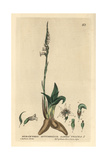 Ladies Tresses, Spiranthes Autumnalis, From William Baxter's British Phaenogamous Botany 1834 Giclee Print by Charles Mathews