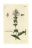 "Marsh Woundwort, Stachys Palustris, From Pierre Bulliard's ""Flora Parisiensis,"" 1776, Paris Giclee Print by Pierre Bulliard"