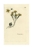 "Wallpepper, Sedum Acre, From Pierre Bulliard's ""Flora Parisiensis,"" 1776, Paris Giclee Print by Pierre Bulliard"