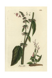 "Western Dock, Rumex Aquaticus, From Pierre Bulliard's ""Flora Parisiensis,"" 1776, Paris Giclee Print by Pierre Bulliard"