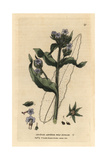 Wild Bugloss, Lycopsis Arvensis, From William Baxter's British Phaenogamous Botany, 1834 Giclee Print by Isaac Russell