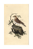 Woodlark From Edward Donovan's Natural History of British Birds, London, 1809 Reproduction procédé giclée par Edward Donovan