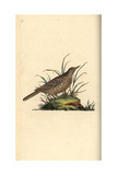 Dusky Lark From Edward Donovan's Natural History of British Birds, London, 1799 Reproduction procédé giclée par Edward Donovan