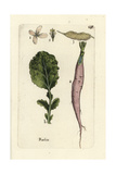 "Radish, Raphanus Sativus, From Pierre Bulliard's ""Flora Parisiensis,"" 1776, Paris Giclee Print by Pierre Bulliard"