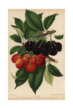Cherry Varieties: Bedford Prolific And Bigarreau Gros Coeuret, Prunus Species Giclee Print by J.L. Macfarlane
