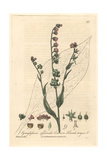 Hound's Tongue, Cynoglossum Officinale, From William Baxter's British Phaenogamous Botany, 1842 Giclee Print by Charles Mathews