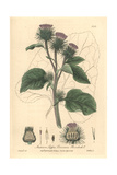 Burdock, Arctium Lappa, From William Baxter's British Phaenogamous Botany, Oxford, 1839 Giclee Print by Isaac Russell