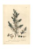 Juniper, Juniperus Communis Giclee Print by Charles Mathews