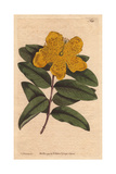Large Flowered St. John's Wort with Yellow Flowers, Hypericum Calycinum Giclee Print by Sydenham Edwards