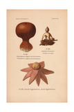 Earthball, Scleroderma Vulgare Var. Verrucosum, And Earthstar, Geaster Fornicatus Giclee Print by Leon Dufour