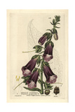 Purple Foxglove, Digitalis Purpurea, From William Baxter's British Phaenogamous Botany, 1834 Giclee Print by Isaac Russell