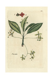 "Spindle, Evonymus Europaeus, From Pierre Bulliard's ""Flora Parisiensis,"" 1776, Paris Giclee Print by Pierre Bulliard"