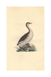 Dusky Grebe From Edward Donovan's Natural History of British Birds, 1799 Impression giclée par Edward Donovan