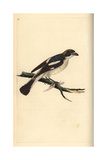 Woodchat Shrike From Edward Donovan's Natural History of British Birds, London, 1799 Reproduction procédé giclée par Edward Donovan