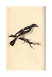 Woodchat Shrike From Edward Donovan's Natural History of British Birds, London, 1799 Giclee Print by Edward Donovan