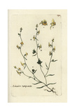 "Prostrate Toadflax, Linaria Supina, From Pierre Bulliard's ""Flora Parisiensis,"" 1776, Paris Giclee Print by Pierre Bulliard"
