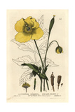 Welsh Poppy, Meconopsis Cambrica, From William Baxter's British Phaenogamous Botany, 1834 Giclee Print by George Havell