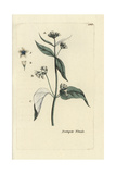 "Swallow-wort, Asclepias Vincetoxicum, From Pierre Bulliard's ""Flora Parisiensis,"" 1776, Paris Giclee Print by Pierre Bulliard"