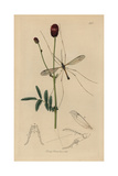 Tipula Longicornis, Tipula Flavolineata, Long-horned Daddy Long-legs, with Great Burnet Giclee Print by John Curtis